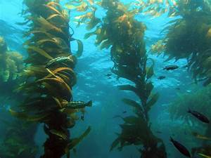 Kelp Forest Midwater Frond - ThingLink
