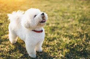 5 Small White Dog Breeds That Make Great Pets | PawCulture