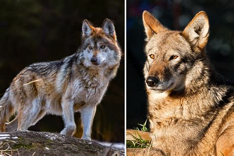 endangered wolf species  separate  unequal