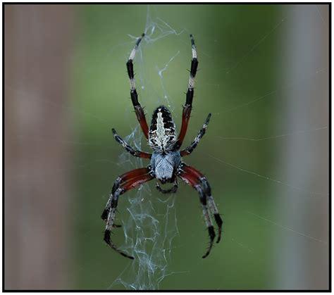 Florida Backyard Spiders by Spotted Orbweaver Neoscona Domiciliorum Florida