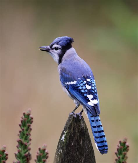 the blue jay canadian lovely bird basic facts