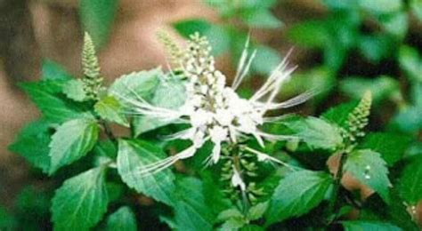 daun kumis kucing sebagai obat herbal masalah ginjal