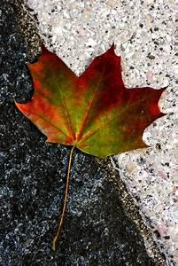 Herbst Schwarz Weiß : herbst auf schwarz weiss foto bild pflanzen pilze flechten b ume blatt bl te bilder ~ Orissabook.com Haus und Dekorationen
