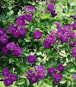 Dauerblüher Sommer Winterhart : rambler rose bleu magenta 1 pflanze g nstig online ~ Michelbontemps.com Haus und Dekorationen