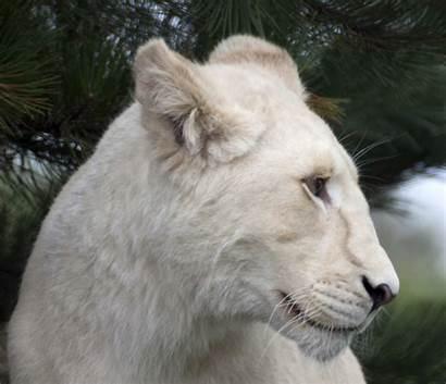 Lion Commons Wikimedia