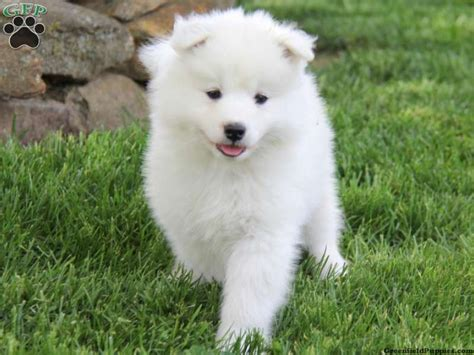 40 Very Cute Pictures Of Samoyed Puppies
