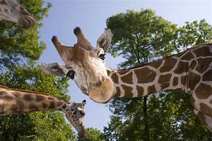 How Giraffe Necks Stretched to New Heights - D-brief  Giraffe