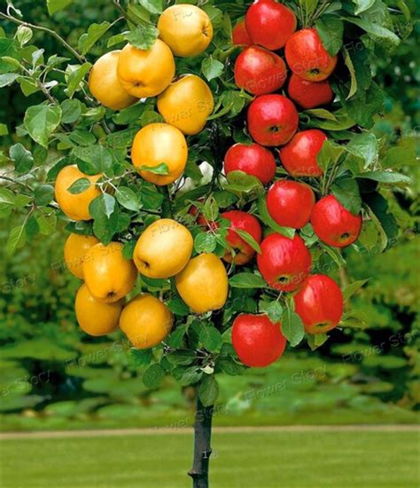 Online Buy Wholesale Apple Fruit Tree From China Apple