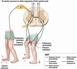 Bio 201 Central Nervous System Flashcards