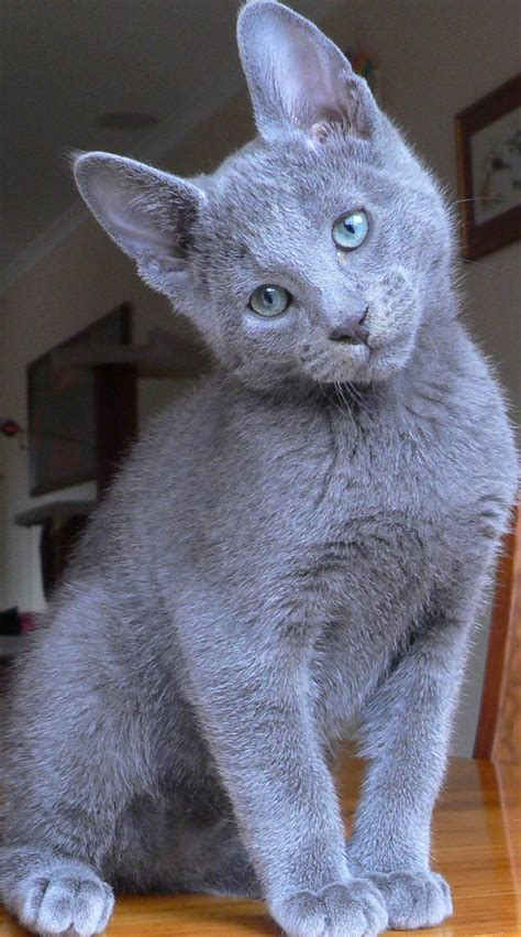 Blue Cats - russian blue dead flies and oose