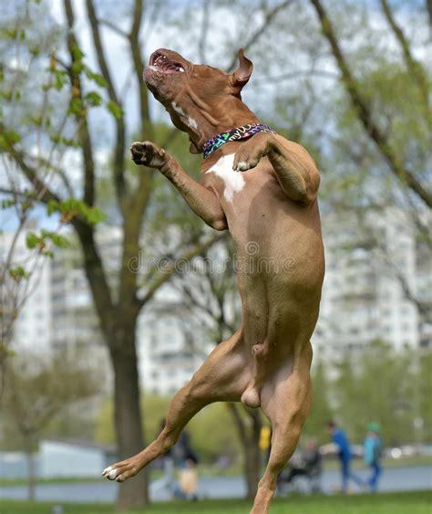AmerikanPit Bull Terrier Banhoppning Arkivfoto - Bild av ...
