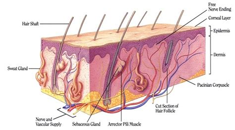 mammals facts characteristics anatomy  pictures