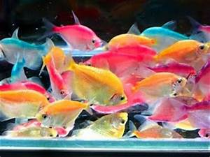Colored white skirt tetra We ve got a pink orange