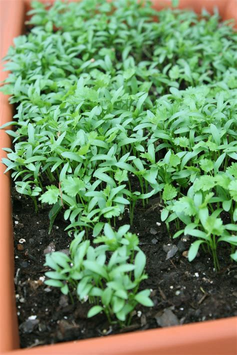 growing cilantro how to grow coriander for the roots to use in thai cooking shesimmers