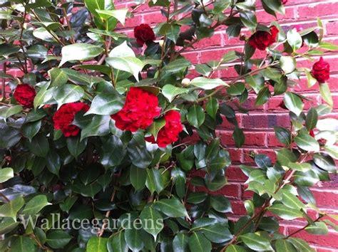 professor sargent camellia camellia japonica professor sargent camellias pinterest