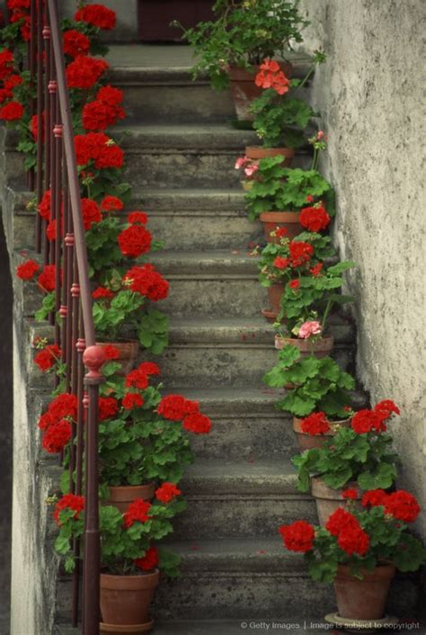 potted geraniums lining sides of stairway geraniums are so pretty plant in pots or in ground