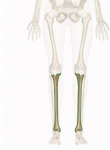 Tibia Anatomy And Function