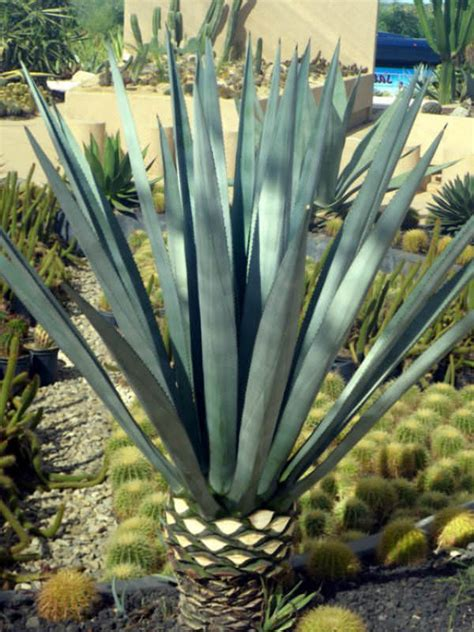 blue agave plant care agave tequilana blue agave tequila agave world of succulents