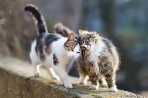 feline cat speaking cat feline language translated cattime