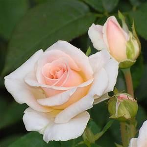 Peach Roses - favorite color