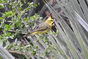 Mapa de aves argentinas: San Luis participa del censo nacional de cardenal amarillo