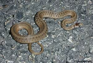 Texas Brown Snakes Identification