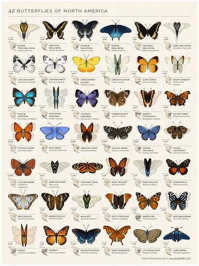 Butterflies North American America Gotscience Animals Science