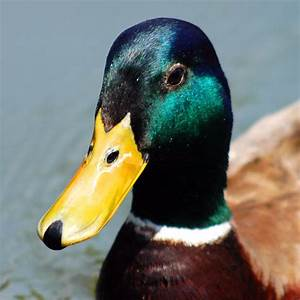 Mallard Duck Quacking iPhone Ringtone - Wildtones
