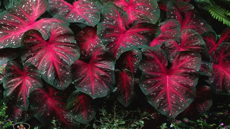 caladiums red flash bulbs elephant ears perennial plants