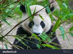 Cute Panda Bear Eating Bamboo Stock Photo 391011436 ...