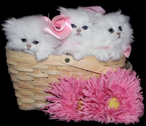 teacup kittens  sale persian kittens florida doll face