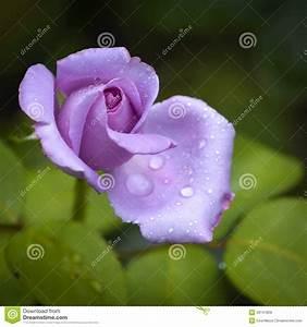 Mainzer Fastnacht Rose : rose stock photo image 43147809 ~ Orissabook.com Haus und Dekorationen