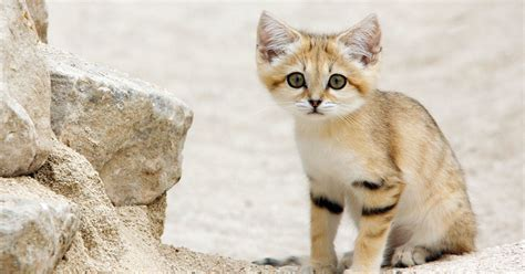 sand cat cats endangered mirror adorable inside