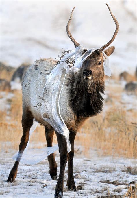 spike bull elk tempt hunters    gamble