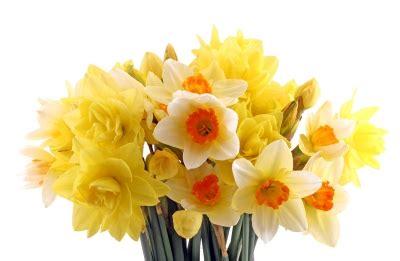 Grower Direct  Flower Varieties Daffodils