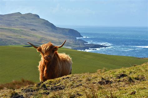 Highland Coo Above Kilchiaran, Isle Of Islay