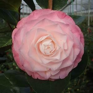 Camellia Japonica Winterhart : buy camellia camellia japonica 39 desire 39 delivery by waitrose garden in association with crocus ~ Eleganceandgraceweddings.com Haus und Dekorationen