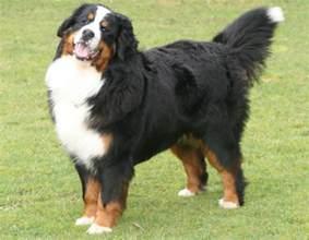 Do Weimaraner Puppies Shed by Bernese Mountain Dog Temperament Bunkblog