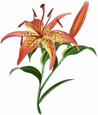 Flower Clipart Lilium Lily Clip Flowers Yellow