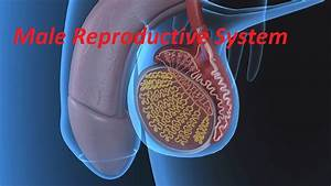 Anatomy And Physiology Of Male Reproductive System