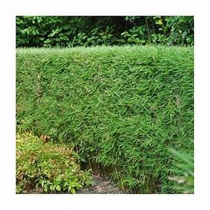 Haie Pas Cher Qui Pousse Vite : haie de bambou prix prix et plantation d 39 une haie de bambous w w w a u t o c o n s t r u c ~ Mglfilm.com Idées de Décoration