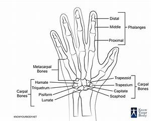 Hand bones anatomy structure and diagram for Hand diagram