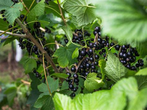 schwarze johannisbeere rosenthals langtraubige ribes