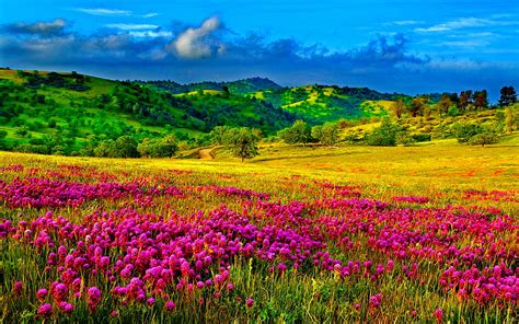 meadow  purple flowers hills  trees  green