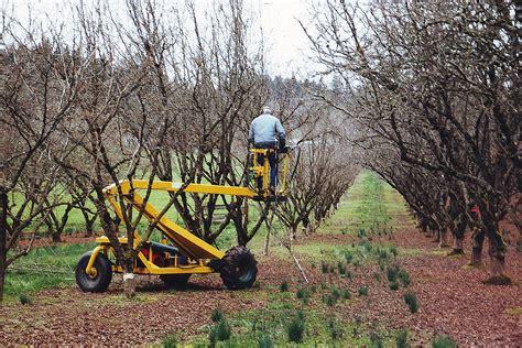 pruning hazelnut trees winter in the orchards oregon hazelnut industry