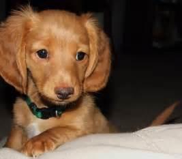 Mini Weiner Dog Puppies