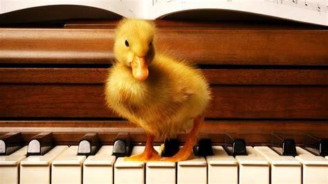 wood duck  building piano birds baby animals