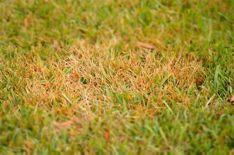Pilze Im Rasen Gut Oder Schlecht by Rasenkrankheiten Pilze 187 Erkennen Und Behandeln
