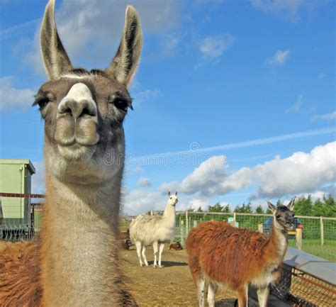 Fuul Picture of a Llama with Teeth