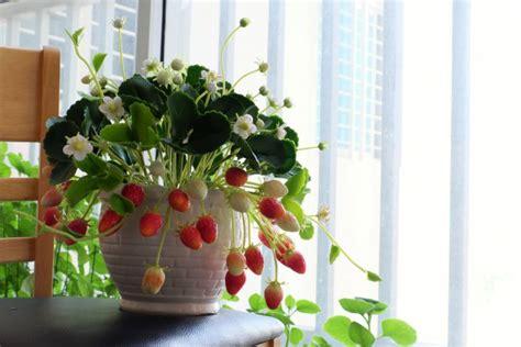 vaso fragole coltivare le fragole in vaso 7 consigli donnad